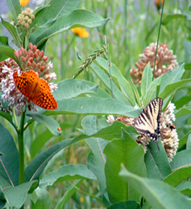 Native flora not only bring a natural beauty to a garden, but they also attract a striking variety of butterflies like these who help maintain the flowers' vitality through pollination.